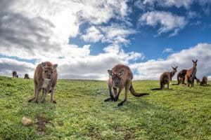 Partez à la rencontre des kangourous en Australie.